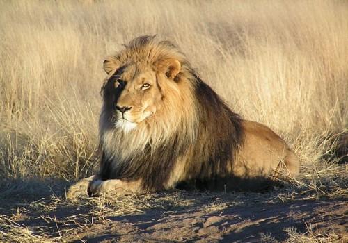 Lion in Namibia [Wikimedia Commons, https://commons.wikimedia.org/wiki/File:Lion_waiting_in_Namibia.jpg